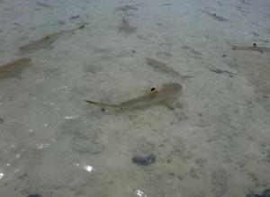 ランギロア島 ブルーラグーン サメ